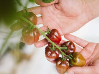De wedergeboorte van de tomaat